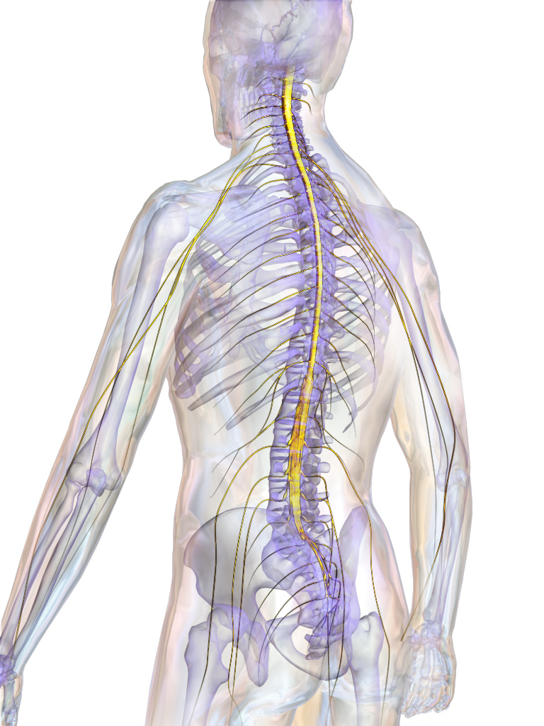 5.spinalcord